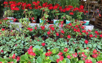 Planta fresca de temporada