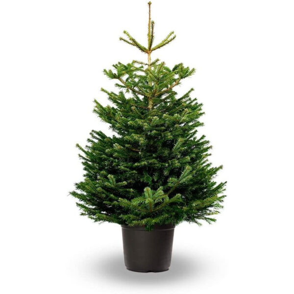 Abeto de Navidad, Abies Nordmanniana