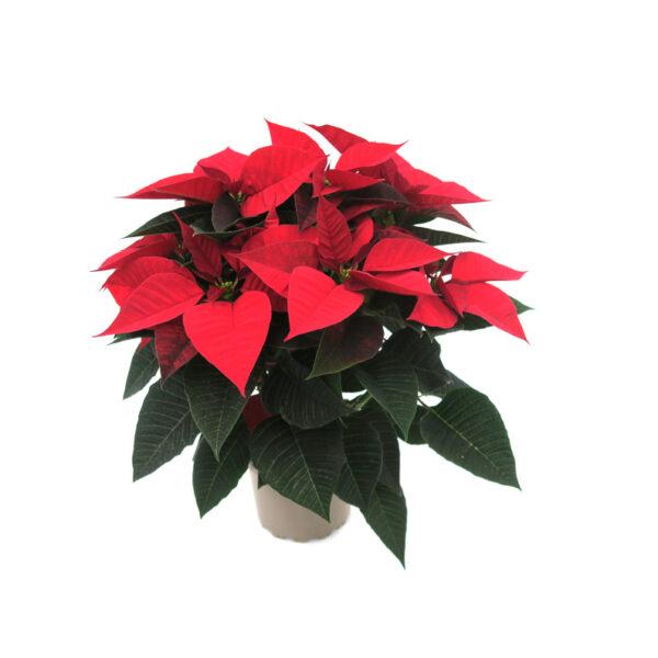 Poinsettia Flor de Navidad Roja