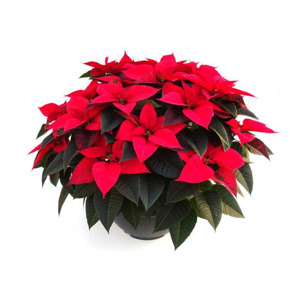 Flor de Navidad  Roja con Tarrina